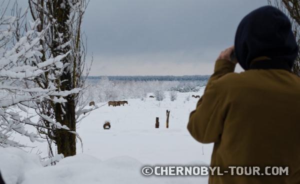 Дикие лошади Прживальского под Чернобылем